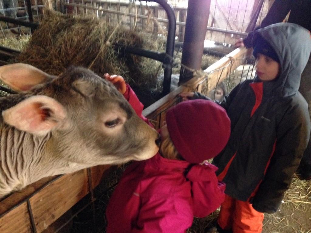 Greyrock Farm calves