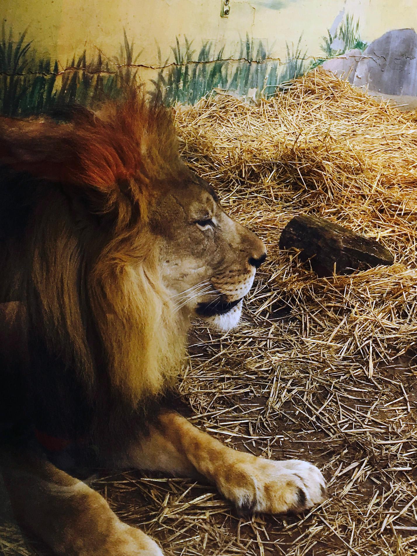 lion-jasper-kyle